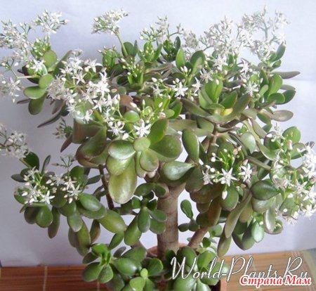 Какие комнатные растения приносят счастье? Поверья и приметы - Комнатные растения. - Страна Мам