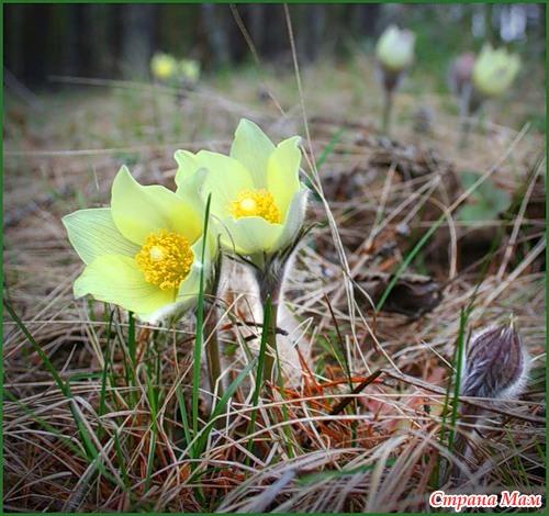 Фото лесные цветы урала