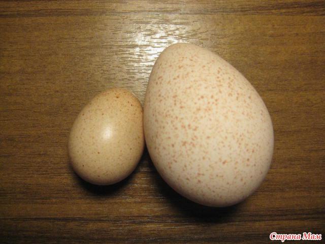 индюшатины яйца