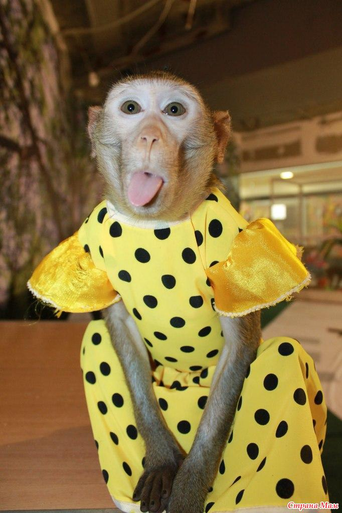 Картинки обезьяна в одежде