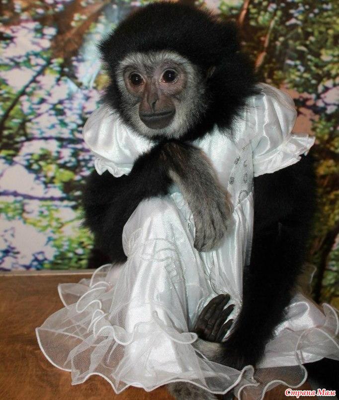 нарядная обезьянка картинки именинник