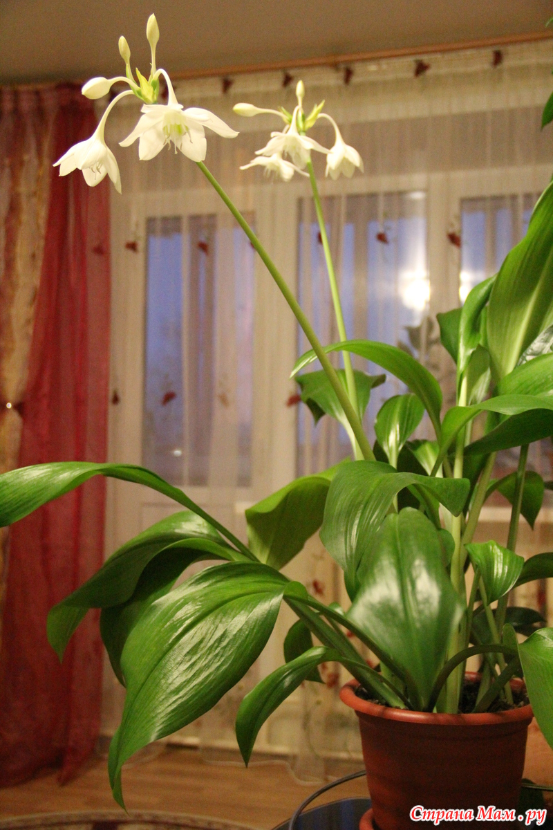 фото как зацветает комнатная лилия рисуем