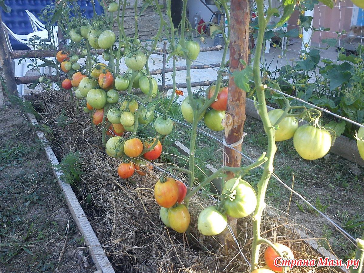 любимый праздник томат фото отзывы