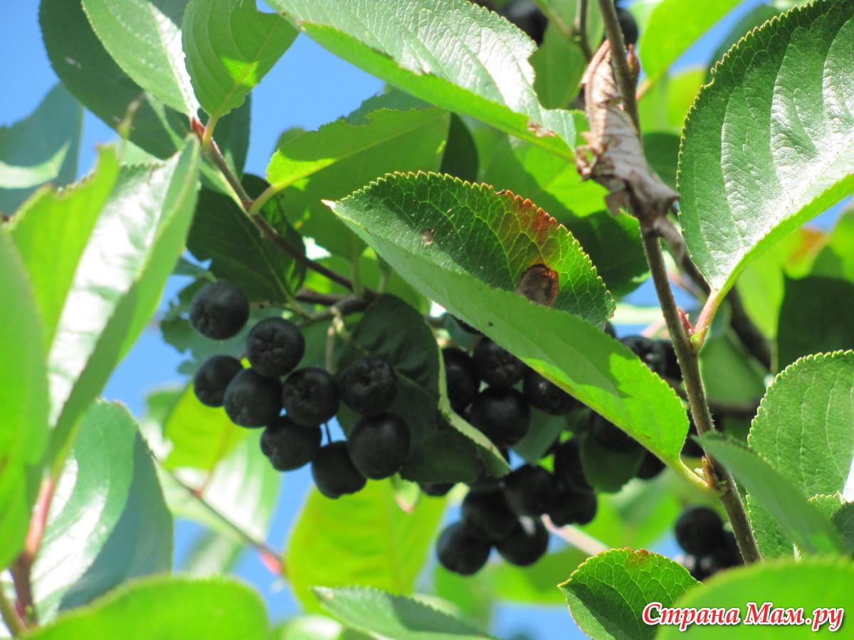 рецепт изюм из черноплодки