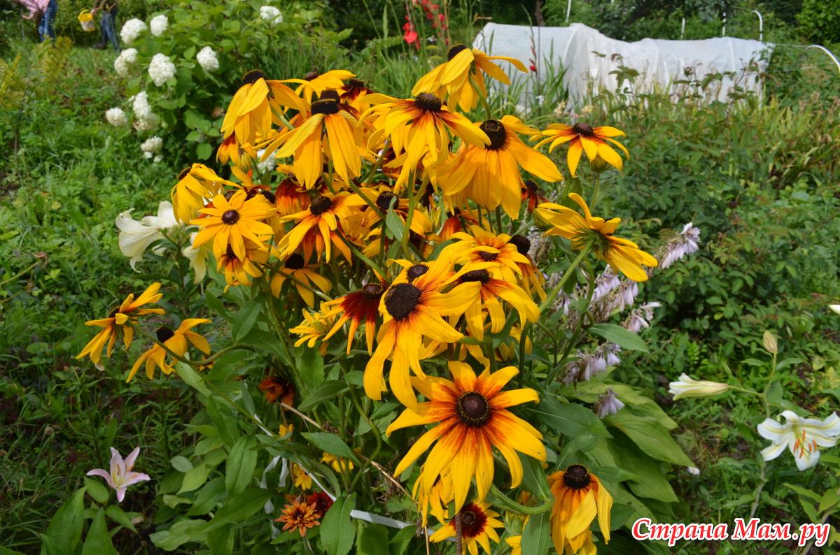 Фото цветка рудбекия мирабилис добрая