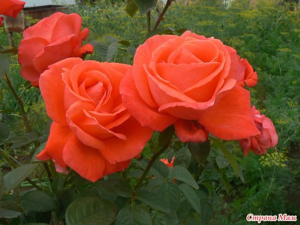 Розы неповторимы, но как хочется запечатлеть... (часть1)