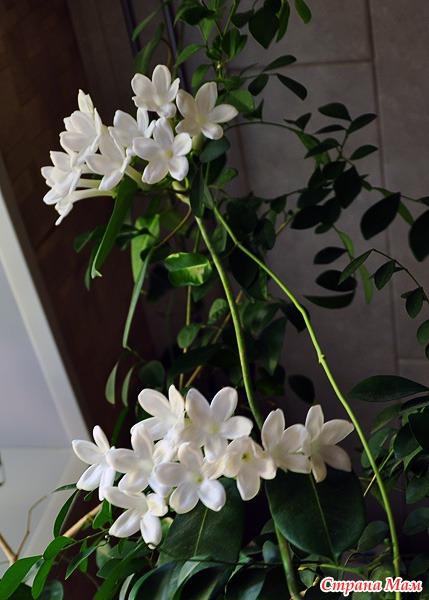 стефанотис цветок невесты
