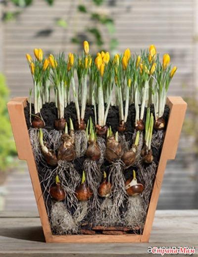 Посадка тюльпанов, как и когда сажать луковицы - Дачные советы 46