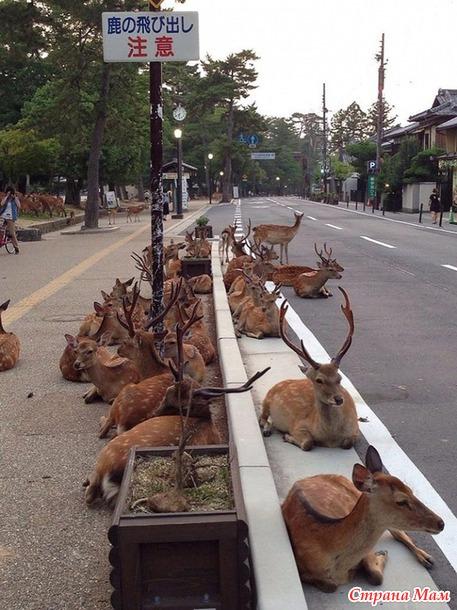 Олени в городе Нара