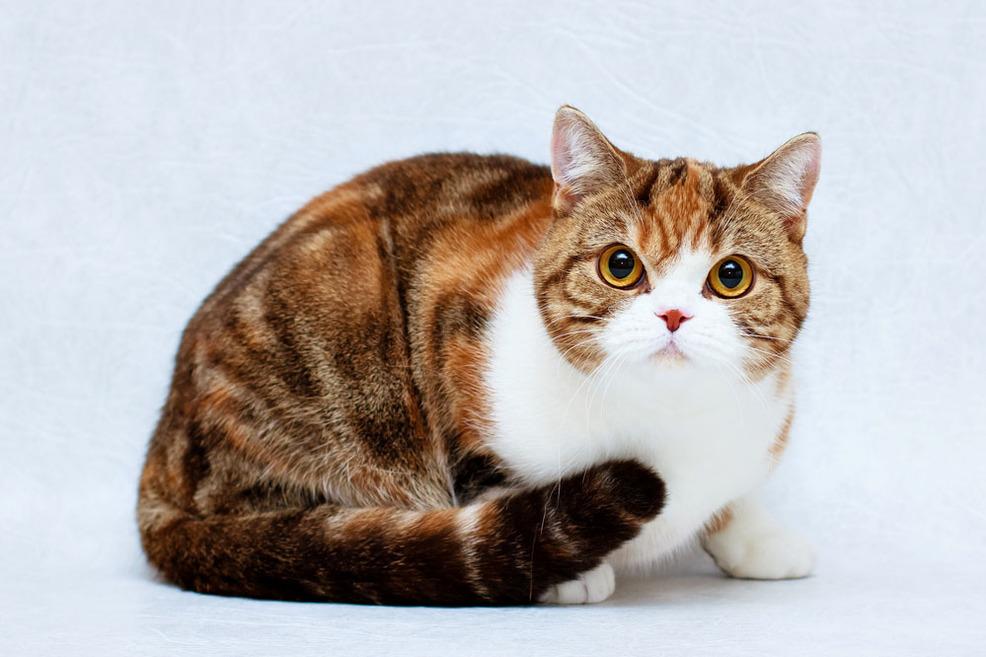 для окрасы британских коты окрас картинки них призывал