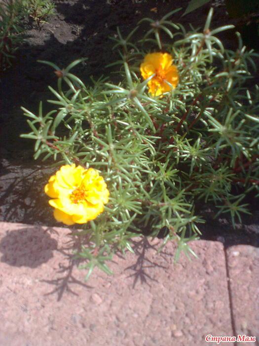 Цветок для имени - Opulent Woman