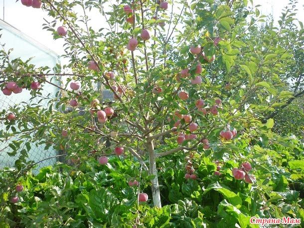 Собираем урожай и просто любуемся красотой. Яблоки.