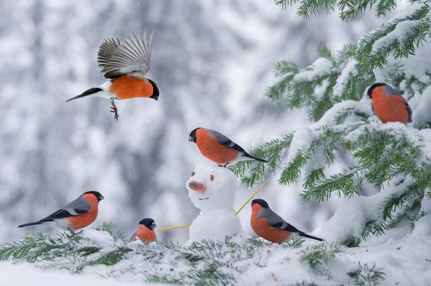 Снегири.