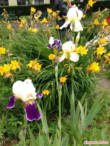Июнь - выставка ранних пионов в Ботаническом саду