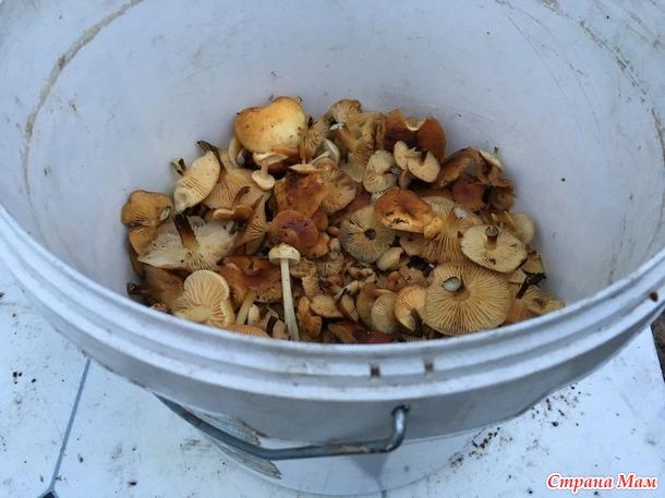 Записки грибника. Фламмулина бархатистоножковая (зимний опенок): что за гриб?