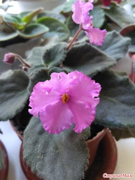 Фиалочки цветут. Подскажите их названия?