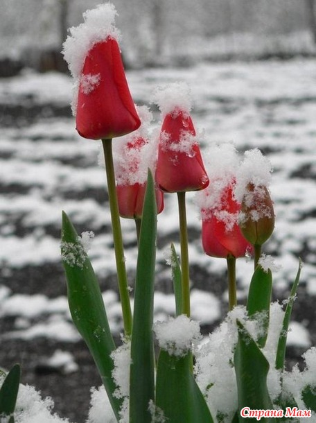 Тюльпановая зима...