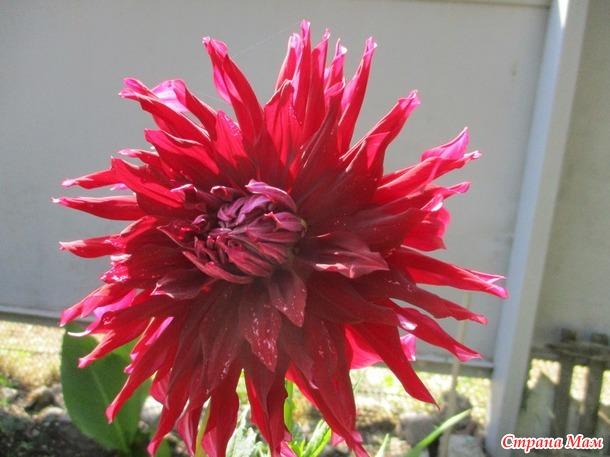 Разноцветье моего цветника.   часть  3