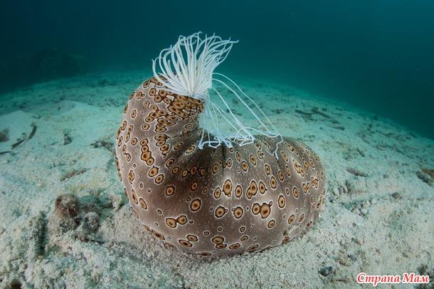«Умная» кожа морского огурца