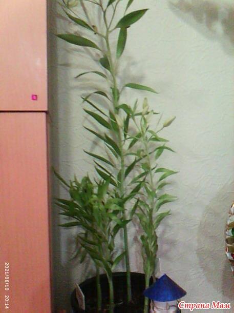Что не так с моими комнатными лилиями?
